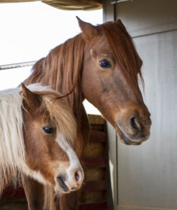 two NAC horses posing for a portrait